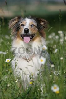 Blumen-Aussie
