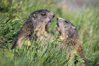 Alpenmurmeltiere koennen sehr gut graben  -  (Mankei - Foto junge Alpenmurmeltiere kaempfen spielerisch) / Marmota marmota