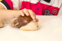 African Achatina snail in hand at home, close up