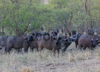 Büffel Herde in der Serengeti, Tansania, Ost Afrika