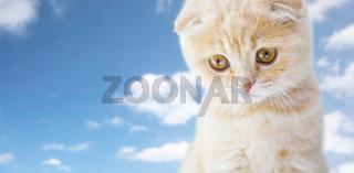close up of scottish fold kitten