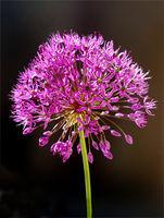 Zierlauch, Riesenlauch, Allium,