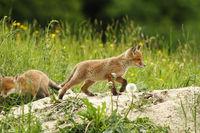 wild red fox puppy playing near the den ( Vulpes )