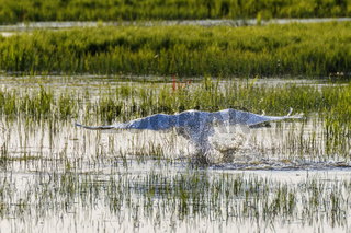 Mute Swan taking off from the lake with water splash