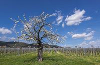 Blühender Kirschbaum (Prunus avium) im Weinberg