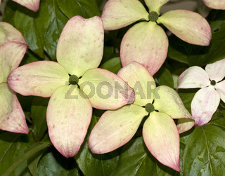 Blumenhartriegel  Cornus species