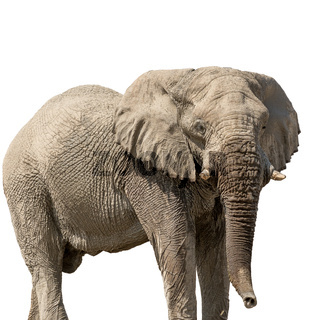 African desert Elephant isolated on white background