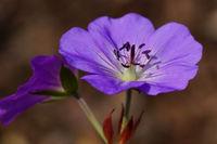 Storchschnabel, Geranium cinereum