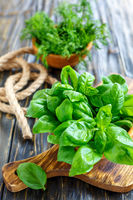 Wooden bowl with green basil leaves.