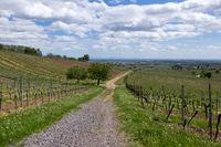 Ausblick vom Haardtrand über Weinberge in die Rheinebene