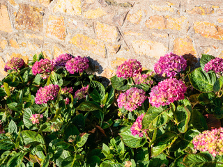 raditional pink hydrangea flowers near house wall
