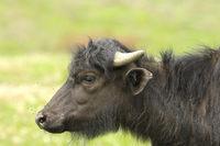 profile of juvenile water buffalo ( Bubalus bubalis