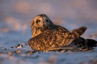 Injured Short Eared Owl