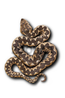 european nose horned viper on white background with shadow ( Vipera ammodytes