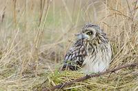 Sumpfohreule, Asio flammeus, Wild Short Eared Owl