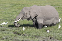 African elephant feeding in a peat bog surrounded by herons