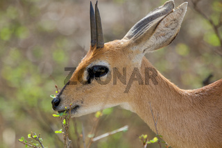 a steenbok in the Kruger National Park South Africa