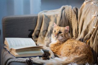 red cat lying on sofa with book and cones at home
