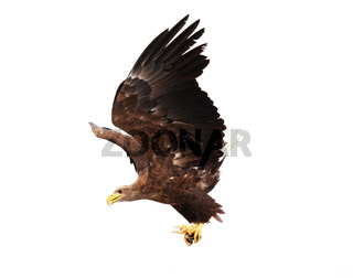 Flying golden eagle