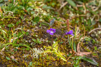 Butterwort flowers that blooming in the summer