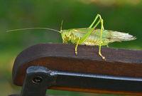 Großes Gruenes Heupferd; Tettigonia viridissima; great green bush cricket;