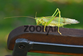 Großes Gruenes Heupferd; Tettigonia viridissima; great green bush cricket;