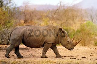 Breitmaulnashorn im Kruger Nationalpark, Südafrika, Breitlippennashorn, white rhinoceros, South Africa, Ceratotherium simum