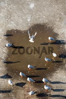 Seagulls live in urban environment