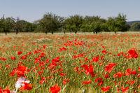 Mohnblumen im Getreidefeld 11