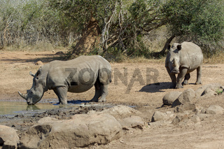 Rhinos In the Kruger National Park South Africa.jpg