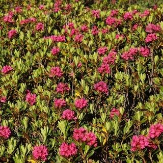 Alpenrosen, little rhododendron.