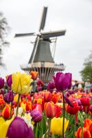 Fabulous landscape of Mill wind and tulips in Holland