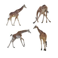 giraffes isolated on white
