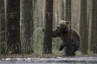 Kampf mit dem Baum... Europäischer Braunbär *Ursus arctos*