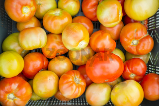 Half mature tomatoes just collected at local farm. Sustainable agriculture