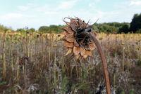 Verwelkte Sonnenblume