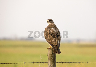 Swainson Hawk Saskatchewan