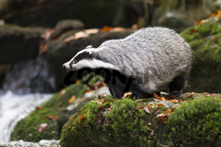 Dachs, Meles meles, European badger