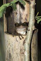 Frosch in Bambusrohr