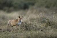 Landschaftsbild mit Fuchs... Rotfuchs *Vulpes vulpes*