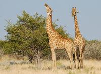 Namibia, Etosha, Giraffen, Giraffes