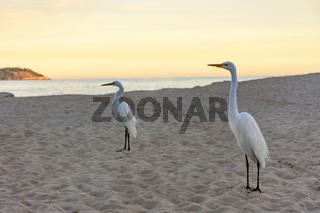 White heron at sunset