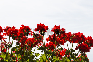rote Pelargonien, red storksbills