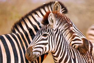 Steppenzebras, Südafrika, Kruger Nationalpark, South Africa, Plains Zebra, Perissodactyla, Equus quagga