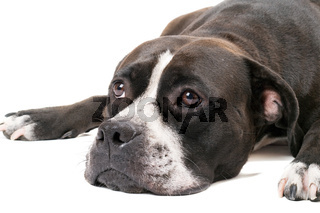 Portrait of the american staffordshire terrier. Isolated on white