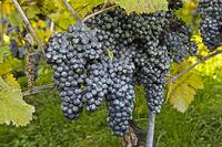Kaolin-Belag auf Weintrauben als natürliches Schädlingsbekämpfungsmittel im Bio-Anbau gegen die Kirschessigfliege (Drosophila suzukii)