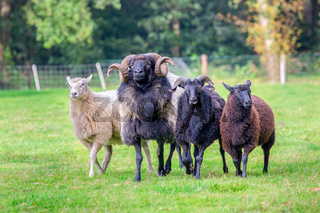 Group of sheep walking together in meadow