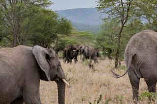 Elefanten beim Kämpfen  im Serengeti Nationalpark