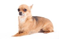 chihuahua laying down