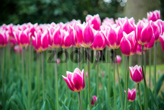 Pink tulips in the park. Spring landscape